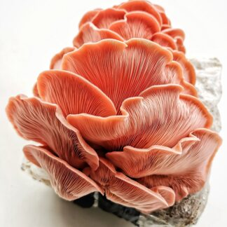 pink oyster mushroom grain spawn