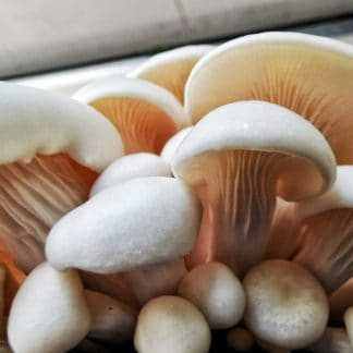 White Oyster Mushrooms Grown From Grain Spawn