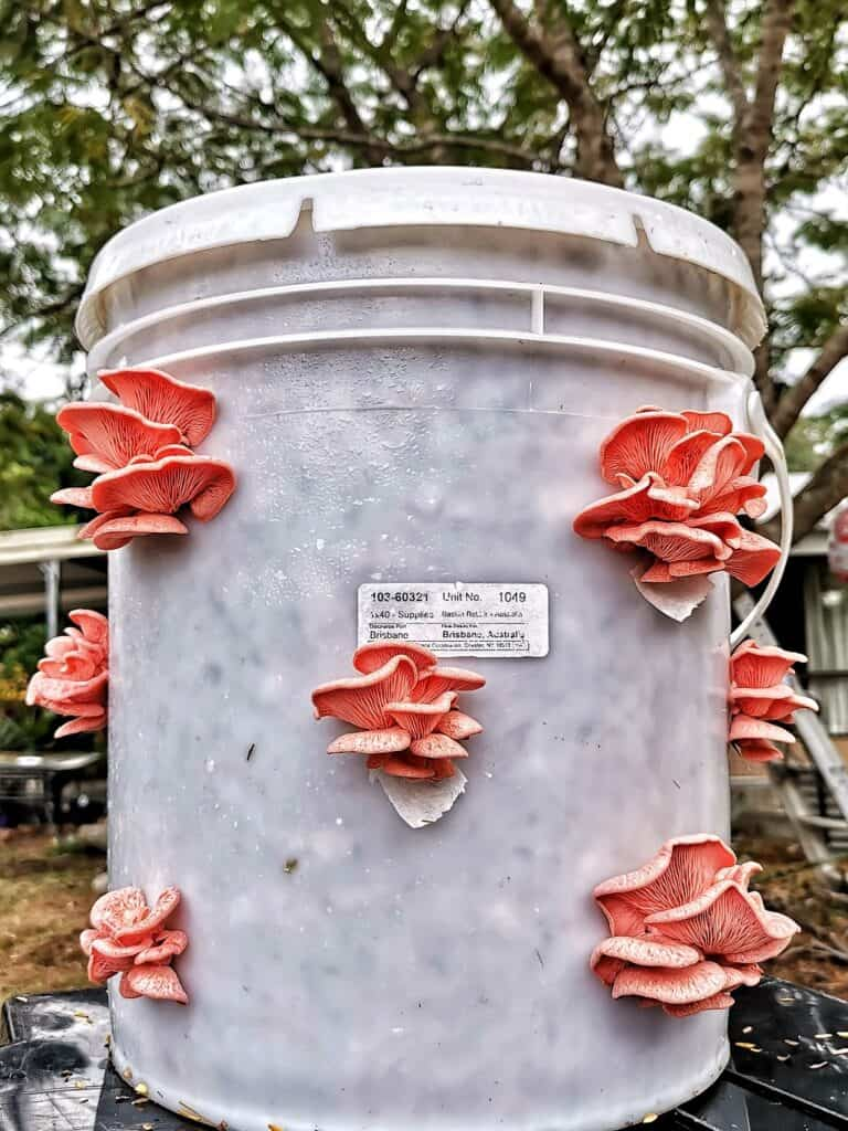 how to grow oyster mushrooms in buckets