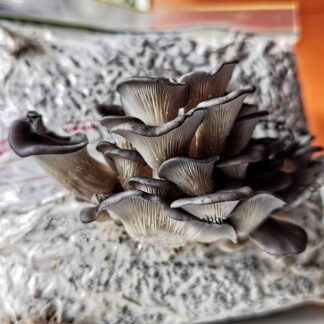 blue oyster mushrooms on paper