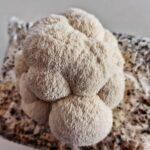 Lion's Mane On Equine Mushroom Mix